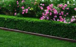 Живая изгородь: все о дикорастущем многолетнем заборе