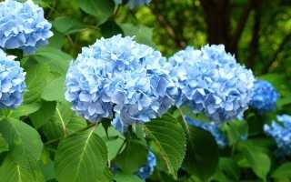 Голубая гортензия — какие существуют сорта, посадка и уход